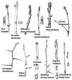 Learn to Identify Plants-Leaf Arrangement-Phyllotaxy