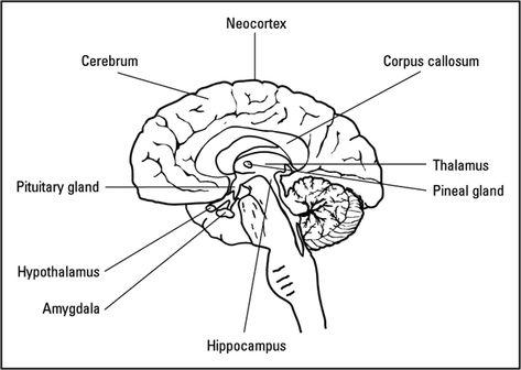 Brain & Cranial Nerves Content by mamacass78 on Pinterest