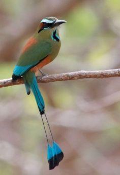 Bildresultat för national bird nicaragua