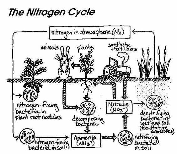 This is a great visual depicting the Nitrogen Cycle. This