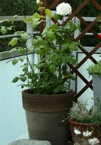9 советов, как вырастить на балконе красивые розы: