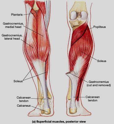 medial lower leg muscles diagram 2006 chevy cobalt alternator wiring imagenes de anatomy