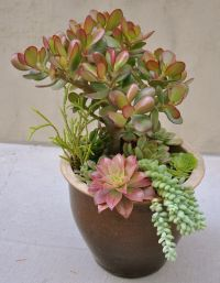 Succulents, Jade plants and Potted succulents on Pinterest