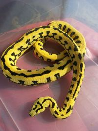 Jungle Jaguar Carpet Python | Snake cia | Pinterest ...