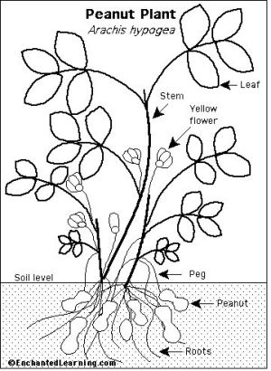 Peanut plant anatomy | Science  Plants | Pinterest