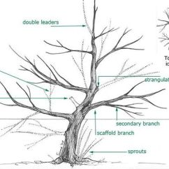 How To Prune An Apple Tree Diagram Mobility Scooter Wiring Trees, Olives And Olive On Pinterest