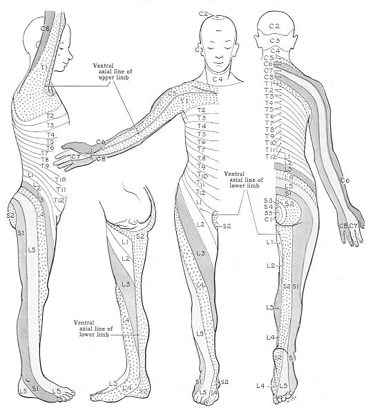 Nerve roots of the spine and their general areas of