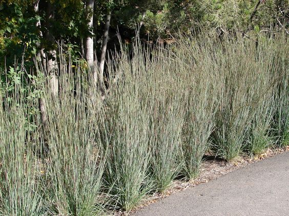 New Utah Gardener: Little Bluestem Grass - Schizachyrium scoparium - ...: