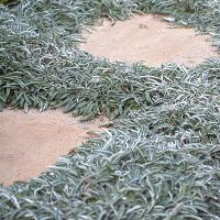 12 water-wise groundcovers | Carpets, Silver and Drought ...