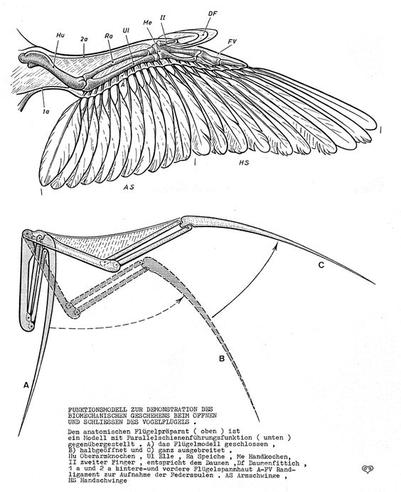 Bird wings, Wings and Birds on Pinterest