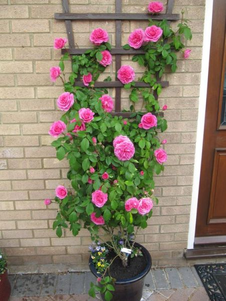 climbing rose in container - Google Search: