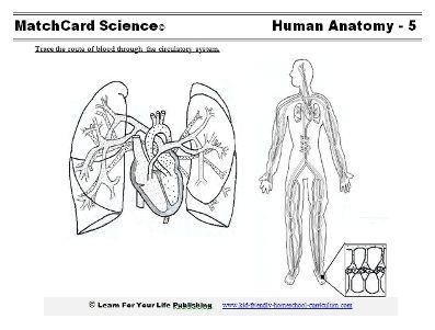 Circulatory system, Body systems and Worksheets on Pinterest