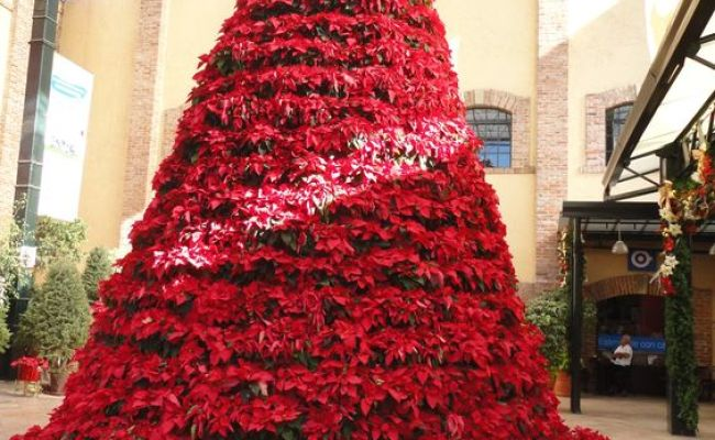 Arbol De Nochebuenas Al Sur Del D F Arbol De Navidad