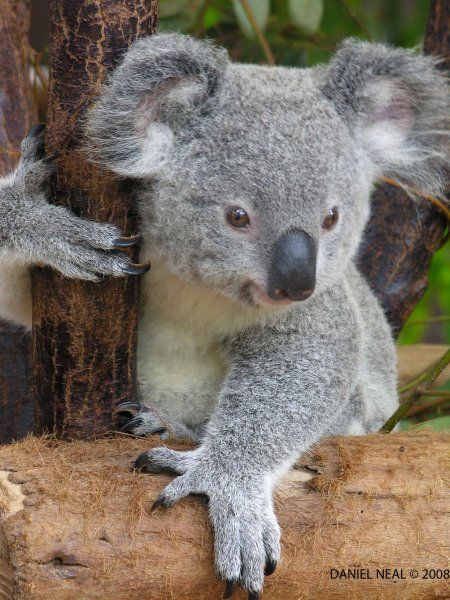 Baby Koala Bear This Is 4 My Friend Tammy Adorable