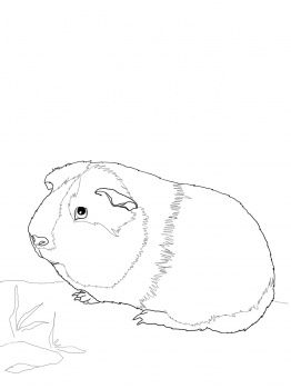 Coloring, We and Guinea pigs on Pinterest