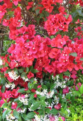 Bougainvillea And Star Jasmine And List Of Other Desert