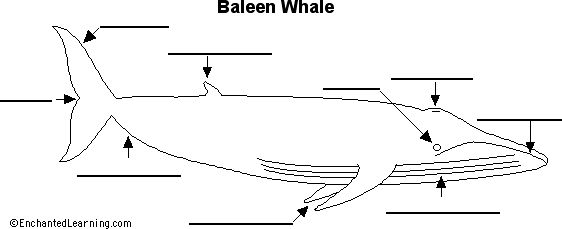 Baleen whales, Anatomy and Whales on Pinterest