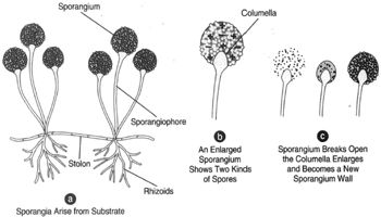 A sexual reproduction in Rhizopus nigricans.(a) Sporangia