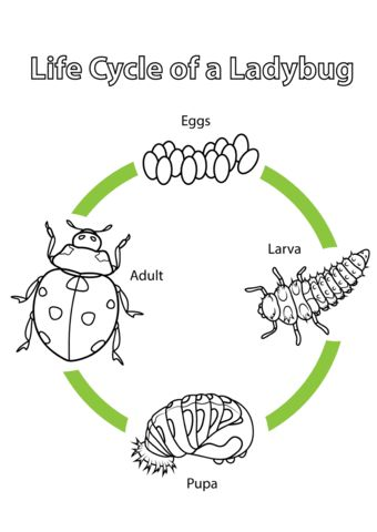 Life Cycle of a Ladybug coloring page from Biology