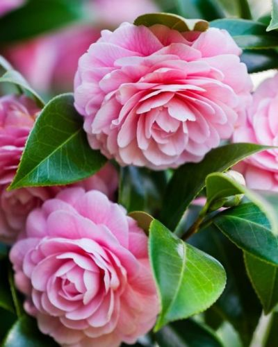 Il genere Camellia include piante ad alberello e a comportamento arbustivo