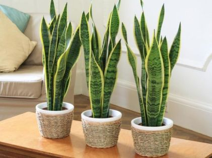 La Sansevieria trifasciata è una pianta succulenta che si distingue per i grandi cespi di foglie lunghe e carnose