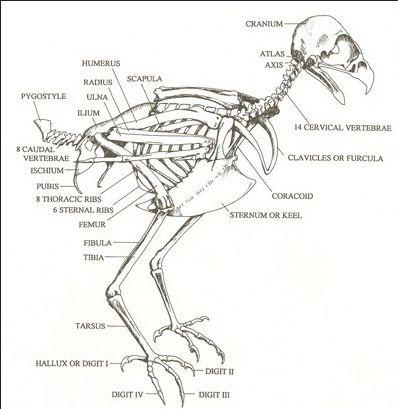 Skeletons and Hawks on Pinterest