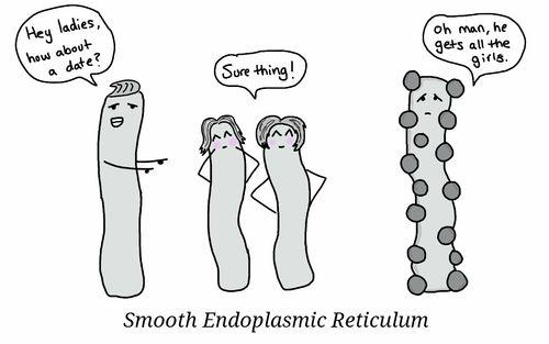 Smooth Endoplasmic Reticulum vs. Rough Endoplasmic