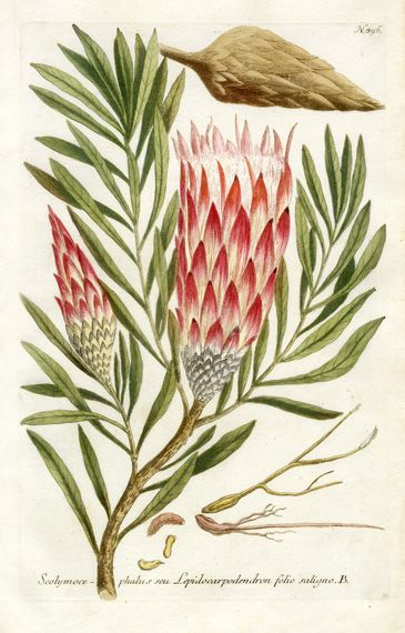 Johann Weinmann Protea Botanical Illustrations