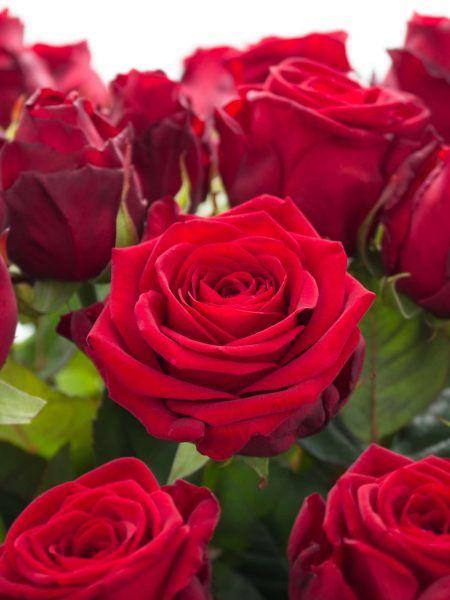Rote Rosen der Sorte Red Naomi  jetzt endecken auf