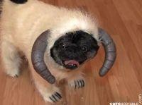 Wampa Dog Costume | World Of Cute | Pinterest | Pug, Dog ...