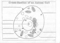 Animal Cell Diagram Worksheet | animal cell diagram ...