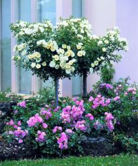 Flower Carpet roses (White) as topiary trees underplanted ...