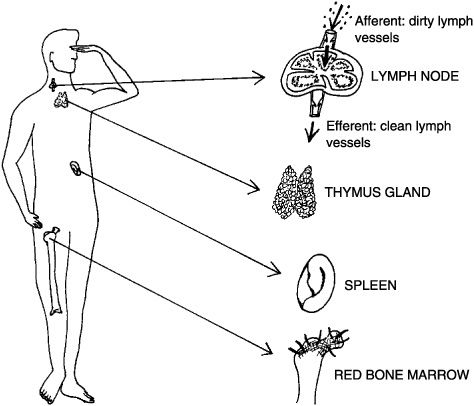 "Immune and Lymphatic Systems: ""The Best Survival Offense"