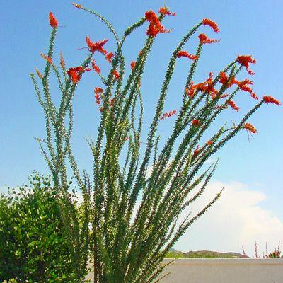 ocotillo desert trees
