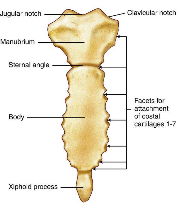 Sternum   Anatomy and Physiology HELP   Pinterest