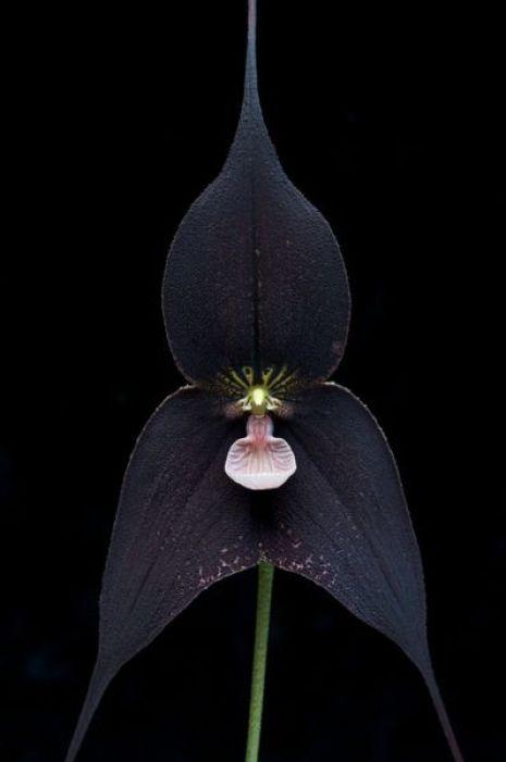 Dracula Raven orchid.: