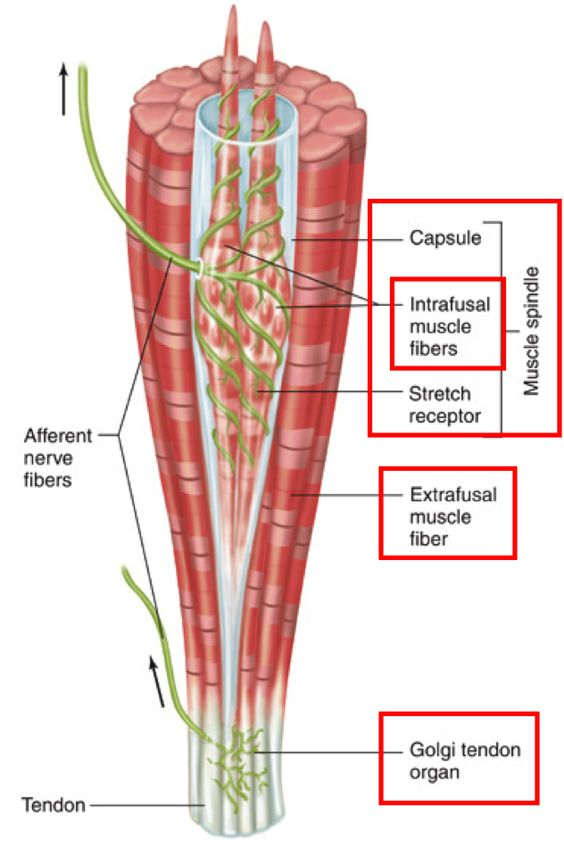 Muscle Spindle GTO and the neurophysiological response