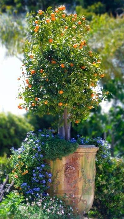 citrus tree in anduze pot:
