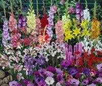 Anemone, Iris, Gladiolus, Crocosmia, Liatris and Lilies ...