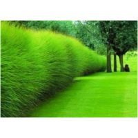 Tall grass plants for privacy | Get In My Yard | Pinterest ...