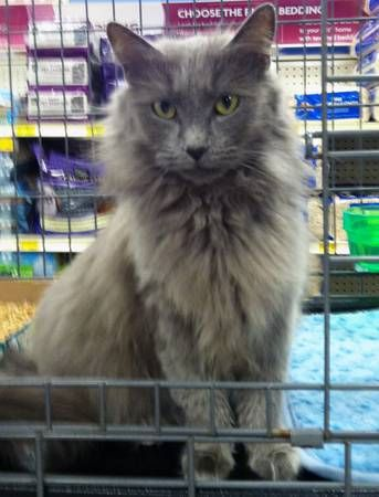 Russian blue. Maine coon and Maine on Pinterest