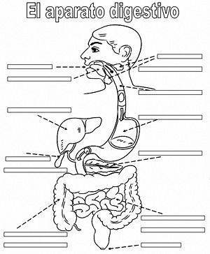 ficha para completar las partes del aparato digestivo