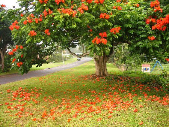 Африканское тюльпанное дерево или Спатодея колокольчатая (Spathodea campanulata):
