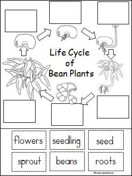 Plant Life Cycle For Preschool