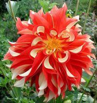 Orange Cream Dinner Plate dahlia | Flowers | Pinterest ...