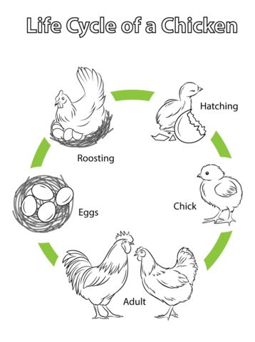 Life Cycle of a Chicken coloring page from Chicken