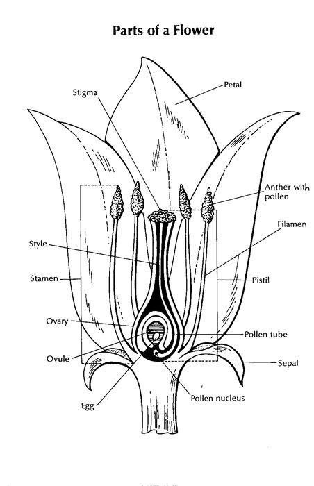 Parts of a flower, Lesson plans and A flower on Pinterest