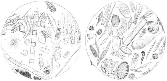 Two drawings of microscopic water-borne life forms by