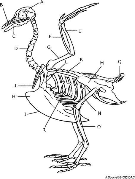 Skeletons, Human skeleton and Birds on Pinterest