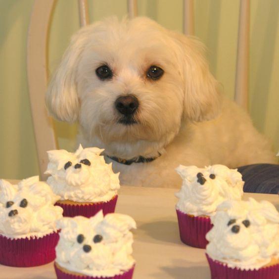 Cute Maltese Dogs Cupcakes